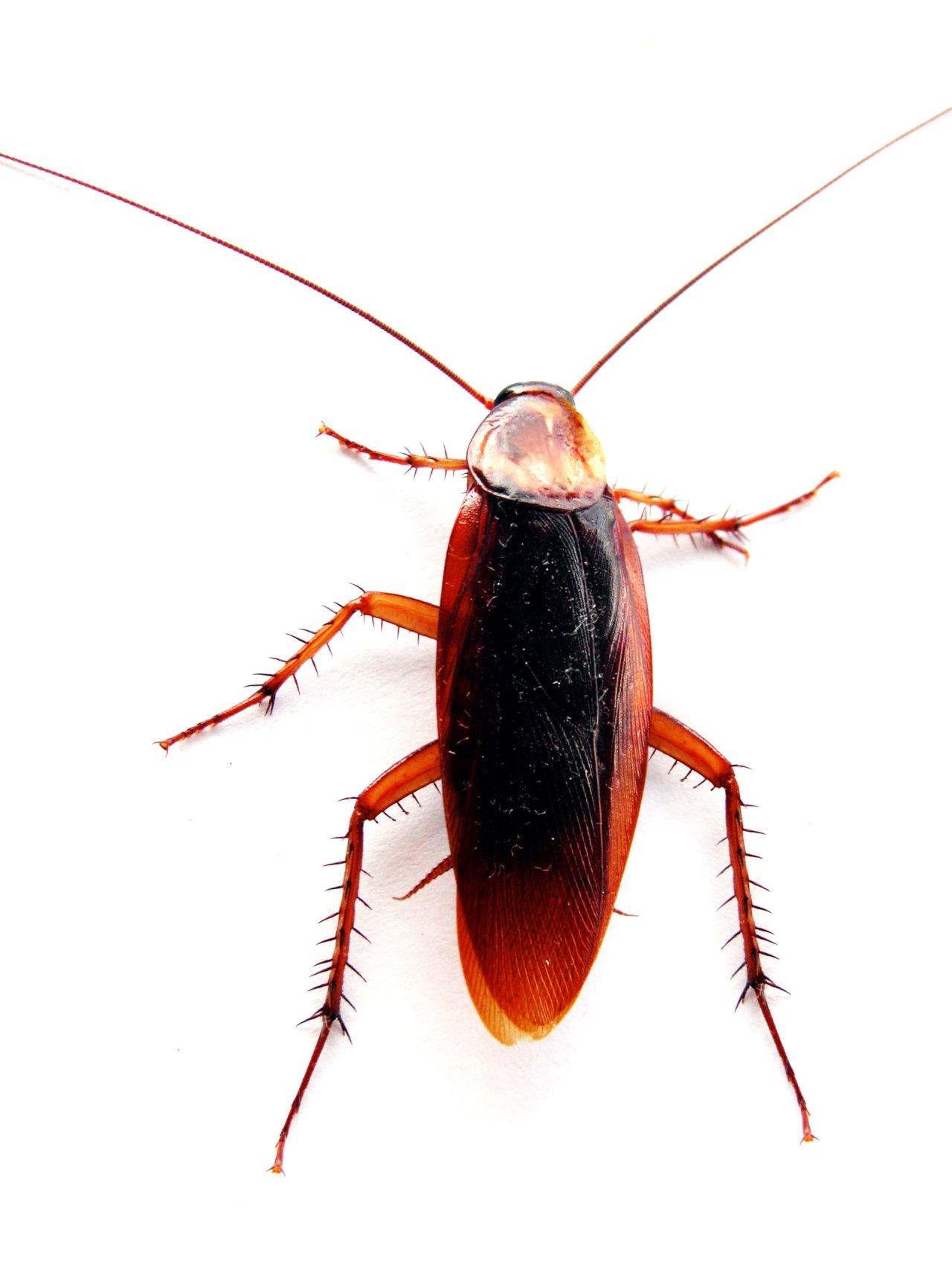 Cockroach Control Perth